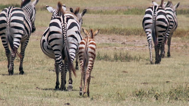 herbivores of ngorongoro crater, tanzania - mammal stock videos & royalty-free footage