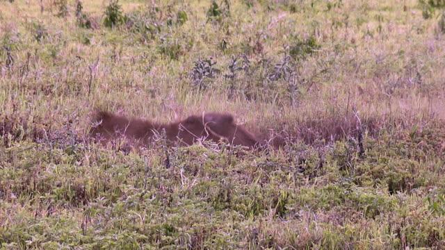 vídeos de stock, filmes e b-roll de herbivores of ngorongoro crater - javali africano