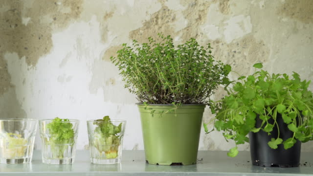 herbs and regrowing lettuce in urban apartment - lettuce stock videos & royalty-free footage