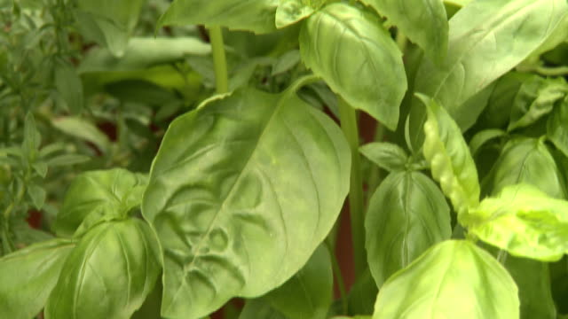 herbs - basil stock videos and b-roll footage