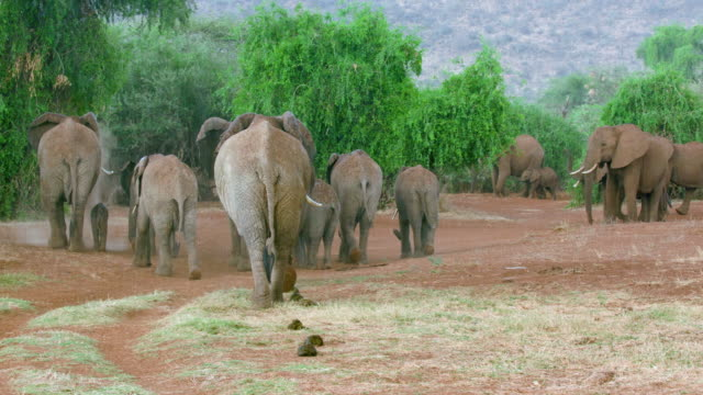 herd african forest elephants walking away samburu  kenya  africa - herd stock videos & royalty-free footage