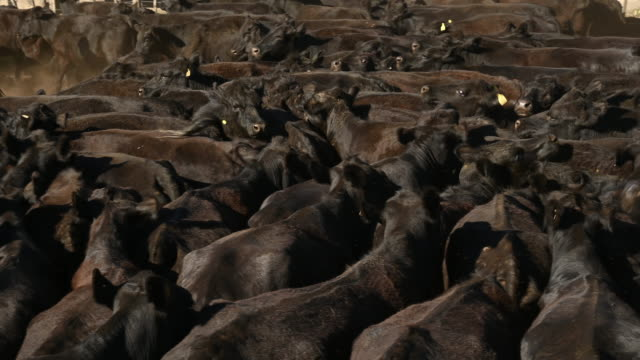 herd of aberdeen angus cattle - beef cattle stock videos & royalty-free footage