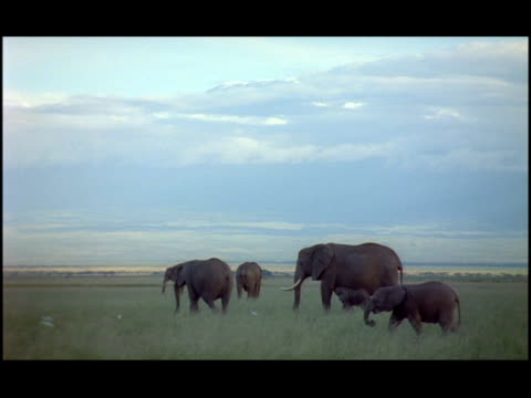 a herd of adult elephants and their calves walk and graze on the kenyan savanna. - zoologia video stock e b–roll