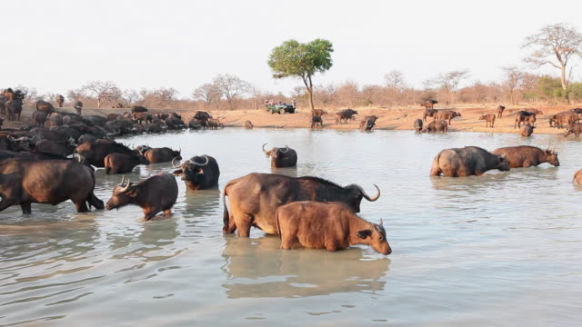 ls herd of african buffalo at watering hole, south africa. - großwild stock-videos und b-roll-filmmaterial