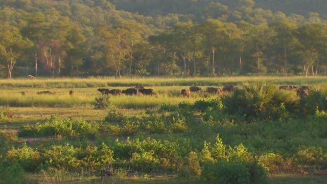 vídeos y material grabado en eventos de stock de a herd of african buffalo grazes in a meadow near a forest. available in hd. - zoología