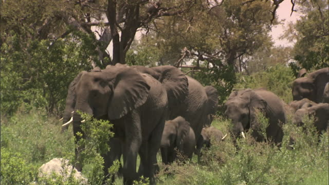 herd of african bush elephant, adults & many young calves walking toward frame on grassy plain of okavango delta, grazing, trees bg. wildlife, tusk,... - southern africa stock videos & royalty-free footage