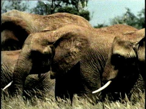 MS, PAN, COMPOSITE, Herd of African Elephant (Loxodonta africana) in field, Tsavo National Park, Kenya