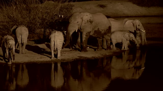 A herd of African Elephants at night, drinking from a water pool in Etosha National Park, Namibia