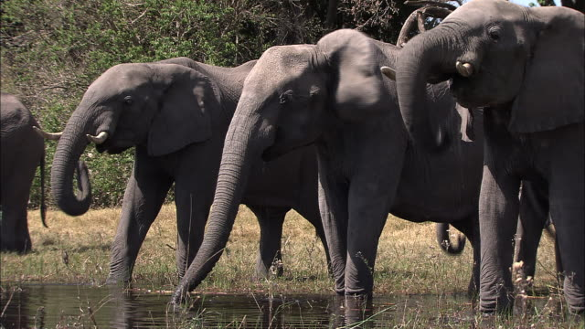 A herd of African elephants drinks from a shallow pond. Available in HD.