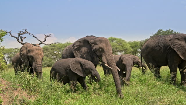 vidéos et rushes de herd of african elephants feeding on grass - mener un troupeau