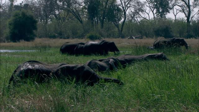 a herd of african elephants grazes on long grass. available in hd. - 食糧を捜す点の映像素材/bロール