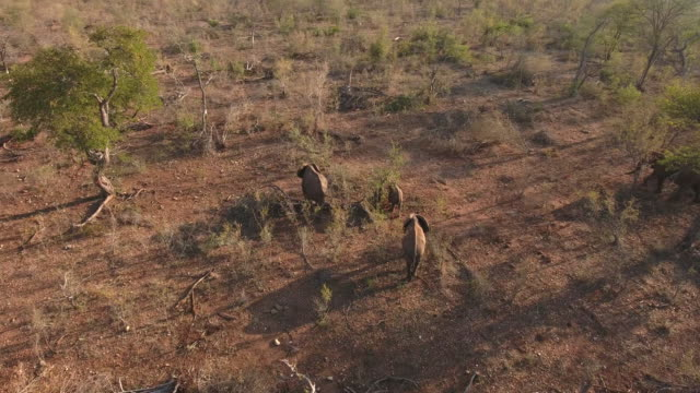 A herd of African elephants in Limpopo South Africa Elephants in South Africa are under constant threat from poachers who kill them for their tusks...