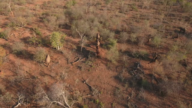 a herd of african elephants in limpopo south africa elephants in south africa are under constant threat from poachers who kill them for their tusks... - krüger nationalpark stock-videos und b-roll-filmmaterial