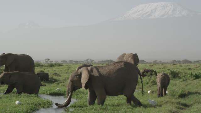 Herd of African elephants (Loxodonta africana) in marsh, Kenya