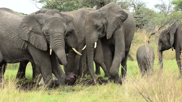 MS Herd of African Elephants (Loxodanta Africana) removing baby elephant from placenta / Botswana