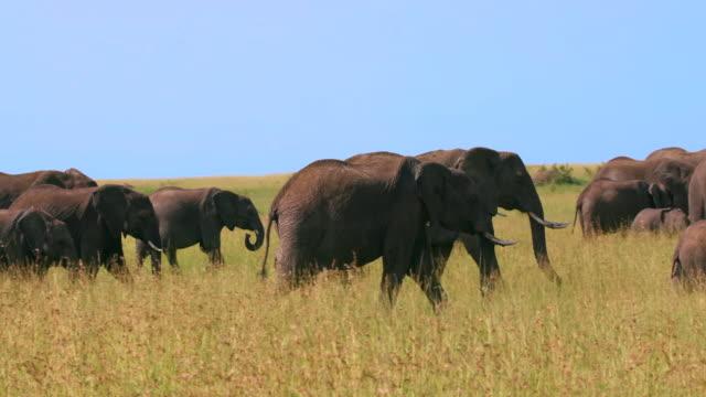 vídeos y material grabado en eventos de stock de herd of african elephants walking, masai mara, kenya, africa - reserva nacional de masai mara