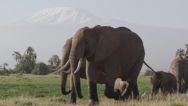 Herd of African elephants (Loxodonta africana) walks in marsh, Kenya