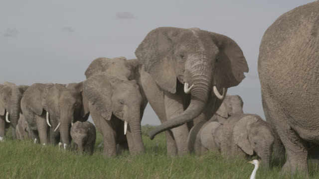Herd of African elephants (Loxodonta africana) walks on savannah, Kenya