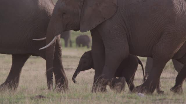 Herd of African elephants (Loxodonta africana) walks on savannah, Kenya