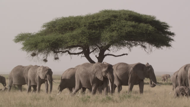 herd of african elephants (loxodonta africana) walks past acacia tree, kenya - elephant stock videos & royalty-free footage