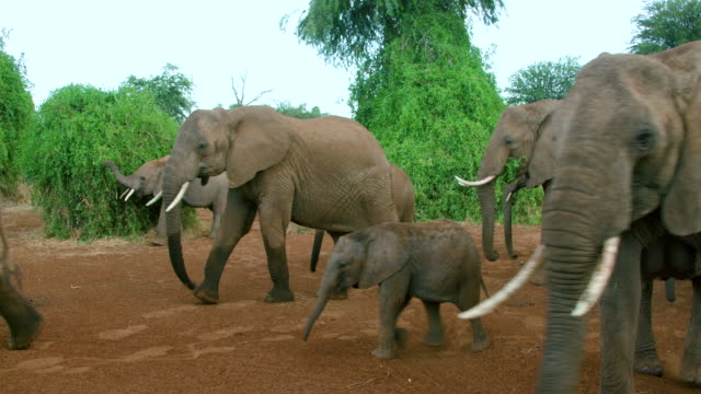 herd of african forest elephants walking samburu  kenya  africa - tiergruppe stock-videos und b-roll-filmmaterial