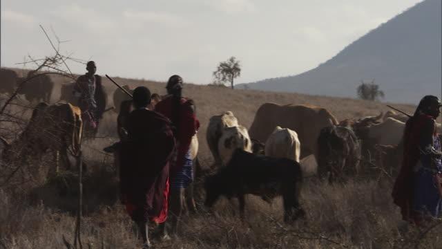 ms pan herd of african masai tribesmen emaciated cattle over dry landscape / masai mara, tanzania - rind stock-videos und b-roll-filmmaterial