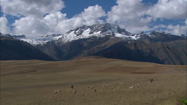 ws herd of alpacas (vicugna pacos) grazing on field with snowcapped andes mountains in background / cuzco region, peru - herder stock videos & royalty-free footage