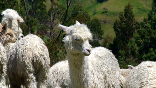 herd of alpacas in pilisurco, ecuador - masticare video stock e b–roll