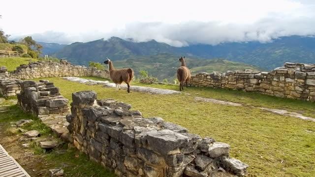 vidéos et rushes de herd of alpacas on top of machu picchu - péruvien