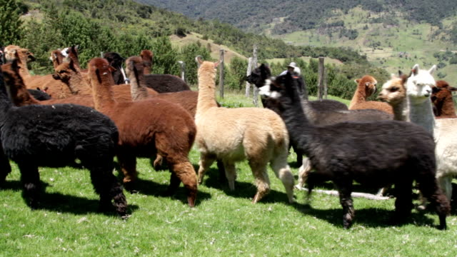 herd of alpacas with shepherd in pilisurco, ecuador - ecuador stock videos and b-roll footage