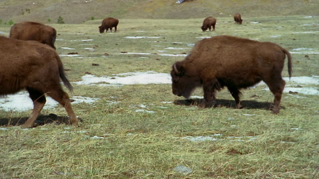 herd of american bison grazing in field at custer state park / custer, south dakota - custer staatspark stock-videos und b-roll-filmmaterial