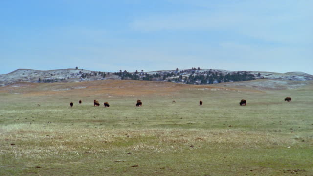 herd of american bison grazing in field at custer state park / custer, south dakota - custer state park stock videos & royalty-free footage