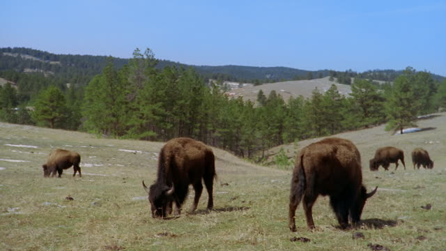 herd of american bison grazing in hills at custer state park / custer, south dakota - custer staatspark stock-videos und b-roll-filmmaterial