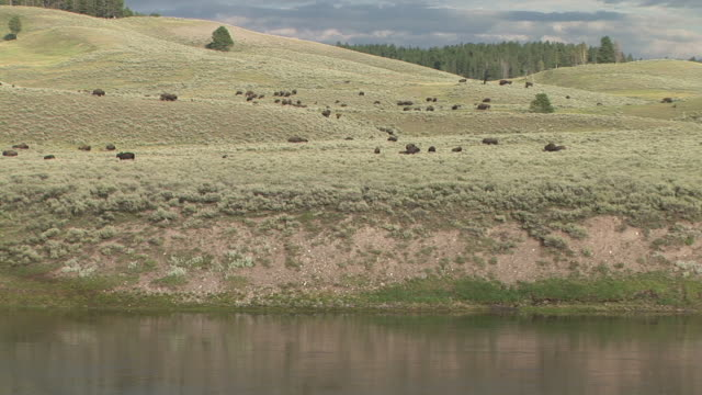 WS, Herd of American Bison (Bison bison) in field by Yellowstone river, Hayden Valley, Yellowstone National Park, Wyoming, USA