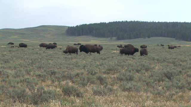 WS, Herd of American Bison (Bison bison) in field, Hayden Valley, Yellowstone National Park, Wyoming, USA