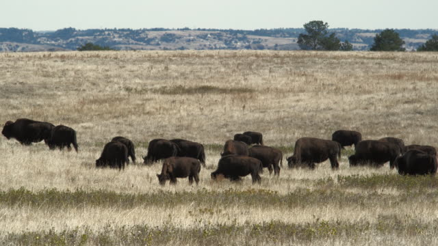 ws, herd of american bison (bison bison) in field, south dakota, usa - dakota del sud video stock e b–roll