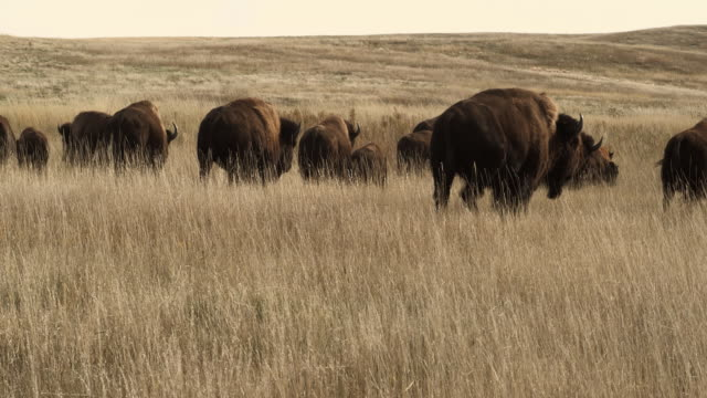 vidéos et rushes de ms, herd of american bison (bison bison) in grassy field, south dakota, usa - grandes plaines américaines