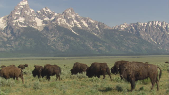 WS Herd of American Bisons (Bison bison) grazing on prairie, snowy, jagged mountains in background / Grand Teton National Park, Wyoming, USA