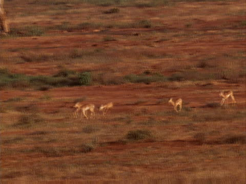 herd of antelope - pflanzenfressend stock-videos und b-roll-filmmaterial