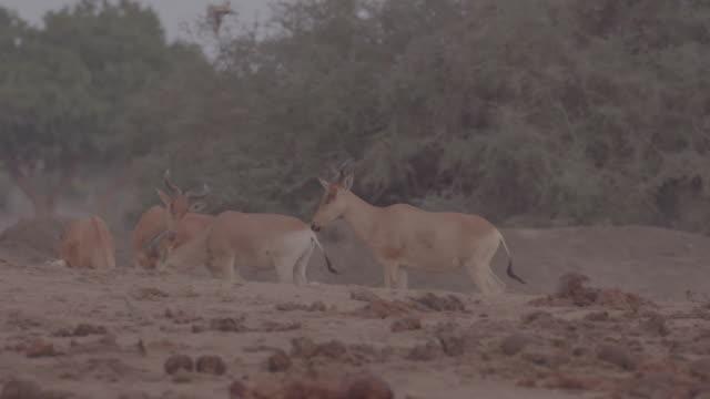 herd of antelopes / africa - pflanzenfressend stock-videos und b-roll-filmmaterial