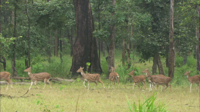 vídeos de stock, filmes e b-roll de a herd of axis deer get spooked by the sound of other animals - animais caçando