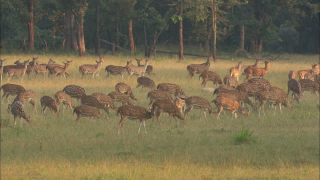 a herd of axis deer run from a clearing in the forest. - herd stock videos & royalty-free footage