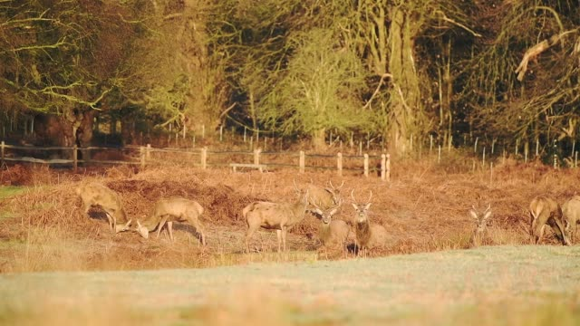 a herd of beautiful deer standing and grazing on the dry grassland in london, england, uk.- wide shot - hooved animal stock videos & royalty-free footage