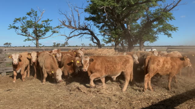 herd of beef cattle calves eating hay - grass fed stock videos & royalty-free footage