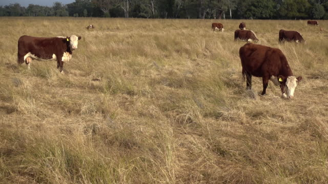 herd of beef cattle grazing with calves - grass fed stock videos & royalty-free footage