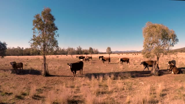 herd of beef cattle in the field grazing - grass fed stock videos & royalty-free footage