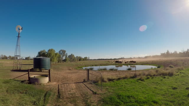 herd of beef cattle running towards dam - grass fed stock videos & royalty-free footage