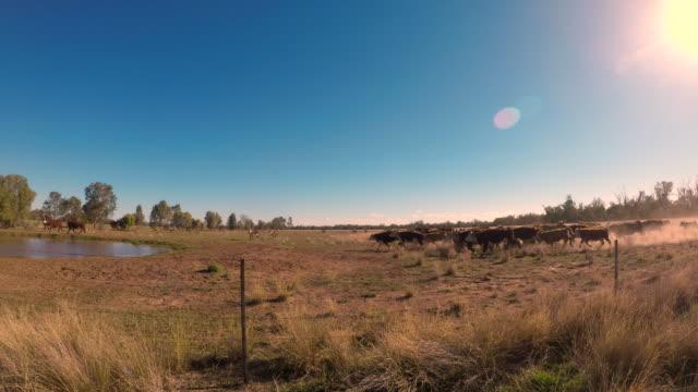 stockvideo's en b-roll-footage met kudde rundvlees vee stormloop naar dam - op hol slaan