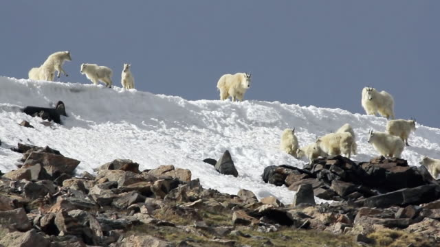 ms herd of billies playing on snow field at 14,000 elevation / idaho springs, colorado, united states - nordamerika stock-videos und b-roll-filmmaterial