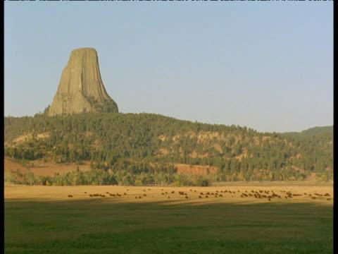 Herd of bison graze in front of Devil's Tower, South Dakota